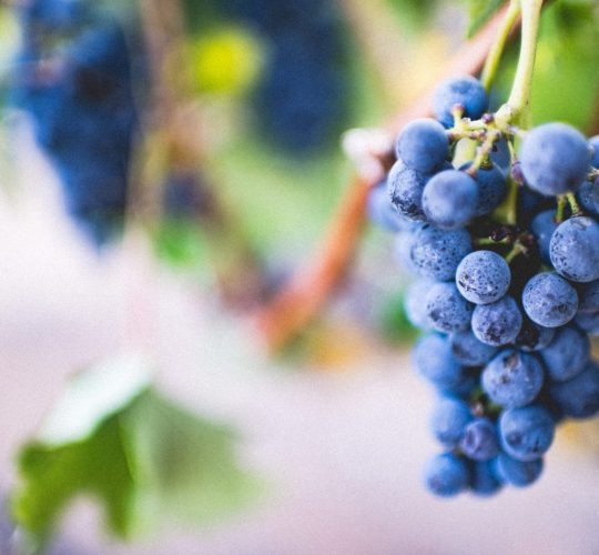 Grapes that can produce wine